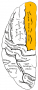 leftsuperior_frontal_gyrus.png