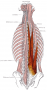 erector_spinae_muscle.png