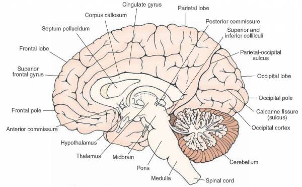 Cerebralcortex Operative Neurosurgery