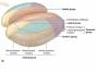 ventral_posterior_nucleus.jpg