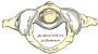 transverse_ligament_of_the_atlas.png