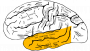 temporal_lobe.png