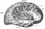 short_gyri_of_insula.png