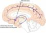 deep_brain_stimulation_of_the_nucleus_basalis_of_meynert.jpg